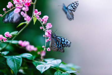 Closeup image of butterflies sitting on pink tropical flowers