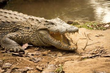Portrait Madagascar Crocodile, Crocodylus niloticus madagascariensis, Madagascar