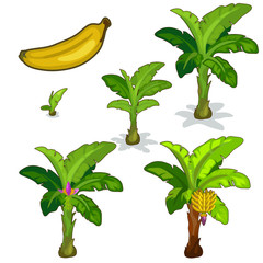 Planting and cultivation of banana palm. Vector
