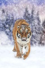 Wild siberian tiger