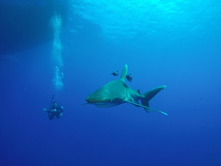 Longimanus shark patrolling at the surface at the Daedalus reef in the Red Sea, Egypt