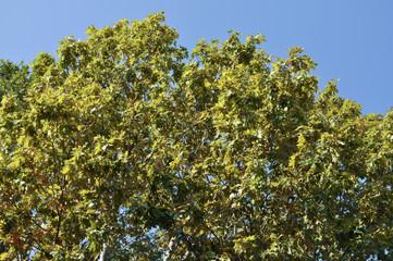 Plane (Platanus) tree top