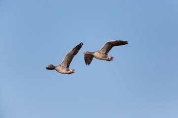 Two flying grey gooses in blue sky