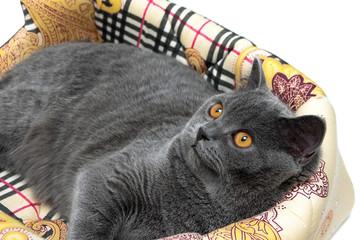beautiful gray cat with yellow eyes closeup