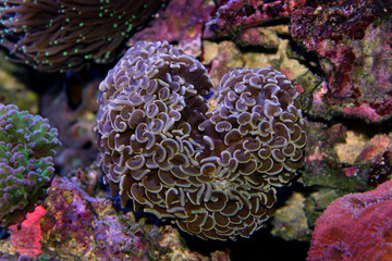 Brown Hammer LPS Coral