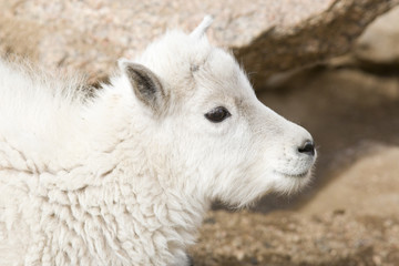 Baby Mountain Goats on Mount Evans