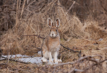 Snowshoe hare or Varying hare (Lepus americanus) with brown coat in Spring in Canada