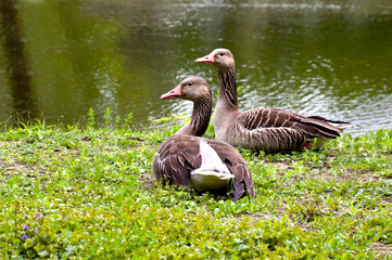 Greylag gooses on the lake-shore