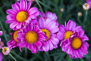 Background pink Daisy on summertime