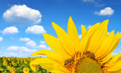 Blooming sunflower field with bee in sunny summer day