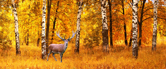The adult male deer on a background of  autumn forest, wildlife