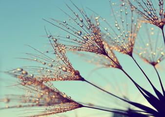 Dew drops on a dandelion seeds at sunrise close up.