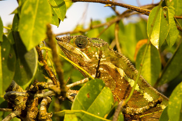 Panther Chameleon, Furcifer Pardalis, the leaves of the tree, Madagascar
