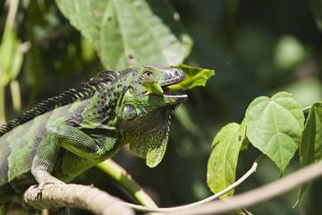 Iguana verde, Costa Rica
