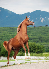 arabian chestnut stallion rearing.
