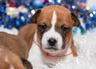 cute dog puppy basenji