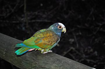 Sud Africa, 26/09/2009: un pappagallo al Birds of Eden, la più grande voliera di volo libero al mondo, il santuario degli uccelli vicino Plettenberg Bay, sulla famosa Garden Route