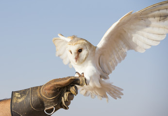 Barn owl (Tyto alba) on a glove of its trainer desert near Dubai Fototapete