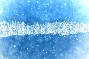Spruce forest in winter. Winter landscape