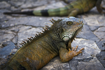 Iguana in a park in Guayaquil in Ecuador, South America