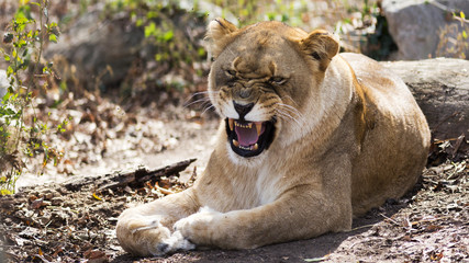 Female African lion growling