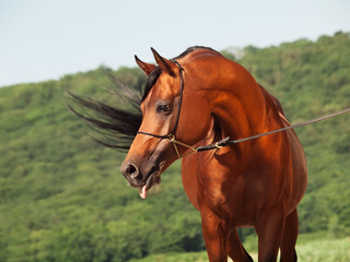 bay beautiful arabian stallion at mountain background