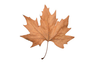 isolated acer leaf