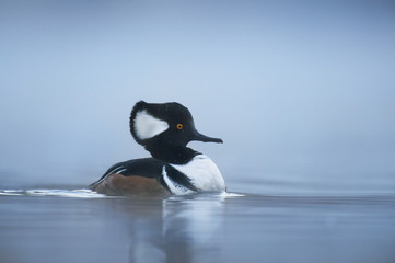 Hooded Merganser at Dawn