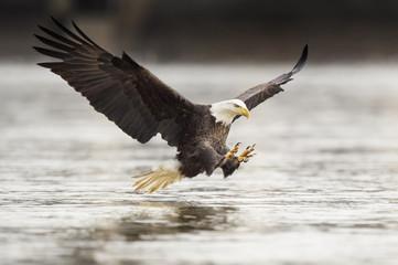 Fishing Bald Eagle Fotoväggar