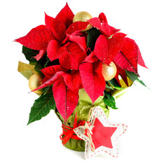 Red poinsettia plant, flower in pot Christmas star, isolated on