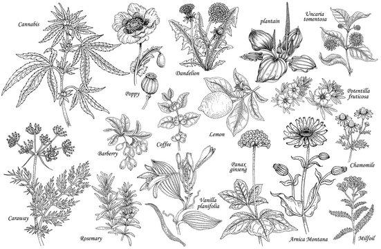 Vector set of medicinal plants.