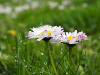 Daisies in the middle of the green grass