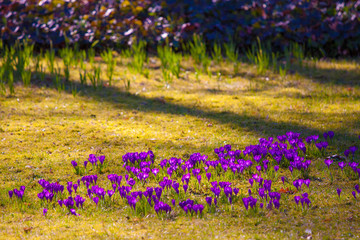 Violet crocus during spring days in Lazienki park, Warsaw