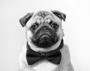 Black and white mugshot of a pug puppy. The dog is wearing a black bow.