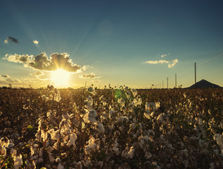Cotton ball in full bloom at sunset - agriculture farm crop image