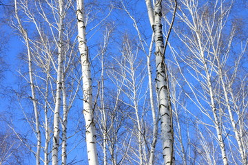 Beautiful landscape with white birches against Birch trees in bright sunshine. Birch grove in autumn.