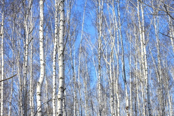 Beautiful landscape with white birches against blue sky. Birch trees in bright sunshine. Birch grove in autumn.