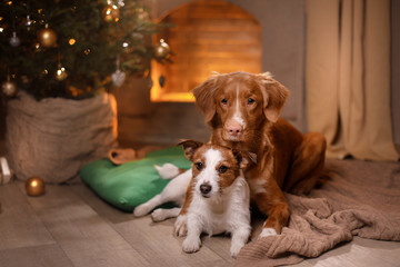 Dog Jack Russell Terrier and Dog Nova Scotia Duck Tolling Retriever . Happy New Year, Christmas, pet in the room the Christmas tree