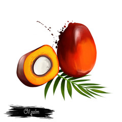 Oil palm illustration isolated on white. Tropical fruit. Elaeis is genus of palms, called oil palms. Used in commercial agriculture in production of palm oil. Digital art. Watercolor illustration