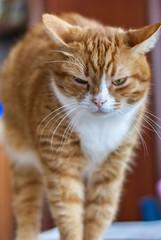 portrait ginger cat