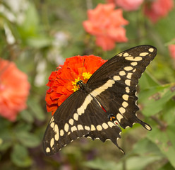 Dorsal view of papilio Cresphontes, Giant Swallowtail butterfly feeding on a red Zinnia flower in garden