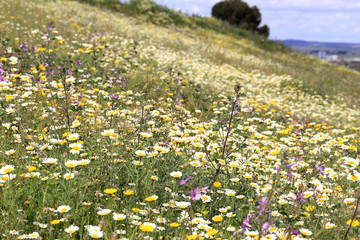 Wild flower meadow, Andalucia, Spain.
