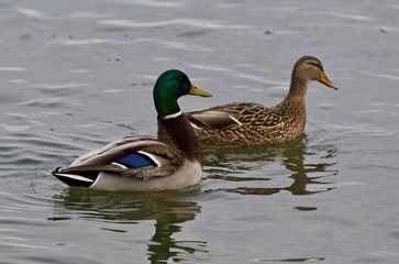 Beautiful background with a pair of mallards