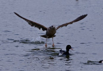 Isolated photo of a scared duck under attack of a  gull