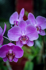 Pink orchid, queen of flowers.