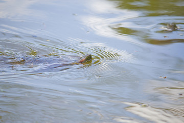 Details of a turtle swimming at a lake