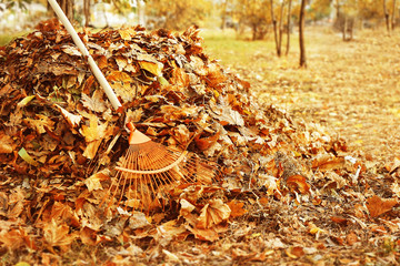 Fan rake and pile of fallen leaves in autumn park