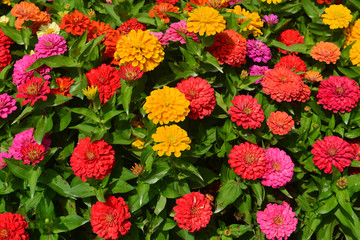Beautiful flowerbed with blooming Zinnia flowers, Batumi