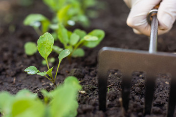 Worker cares about young rocket in the garden, loosens earth,  rucola sprouts in the farmers field, agriculture and healthy meal concept
