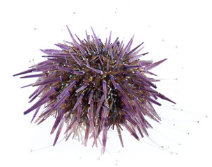 Purple sea urchin, Paracentrotus lividus, underwater studio shot, isolated on white background.